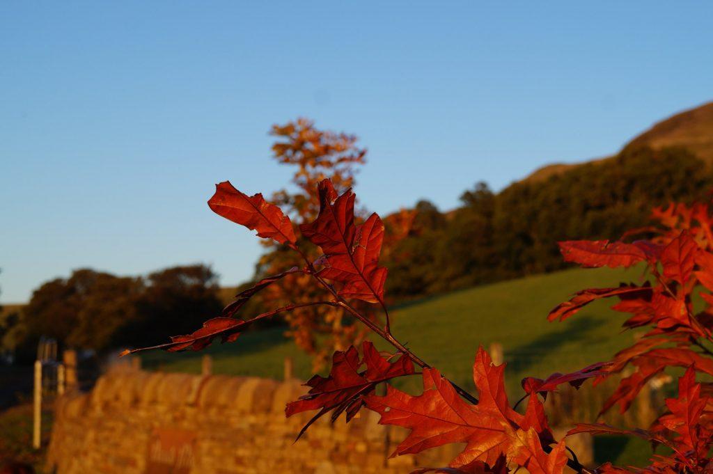 Oak tree, autumn - Fintry